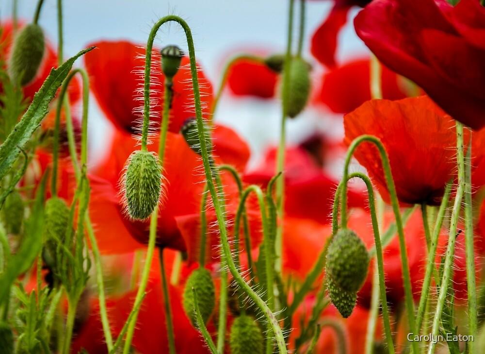 Poppies by Carolyn Eaton