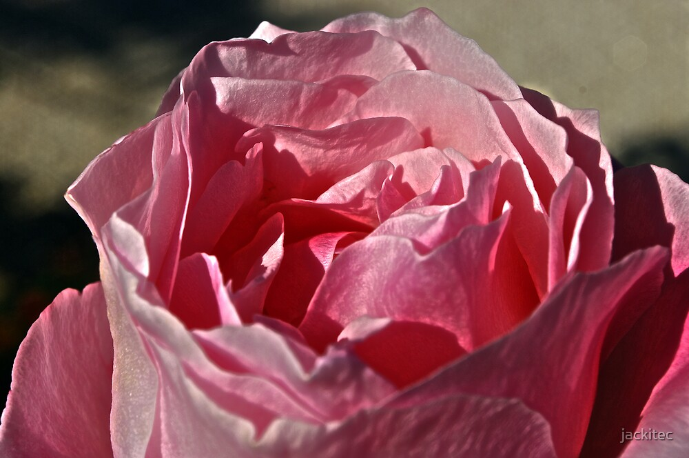 HDR Rose by jackitec