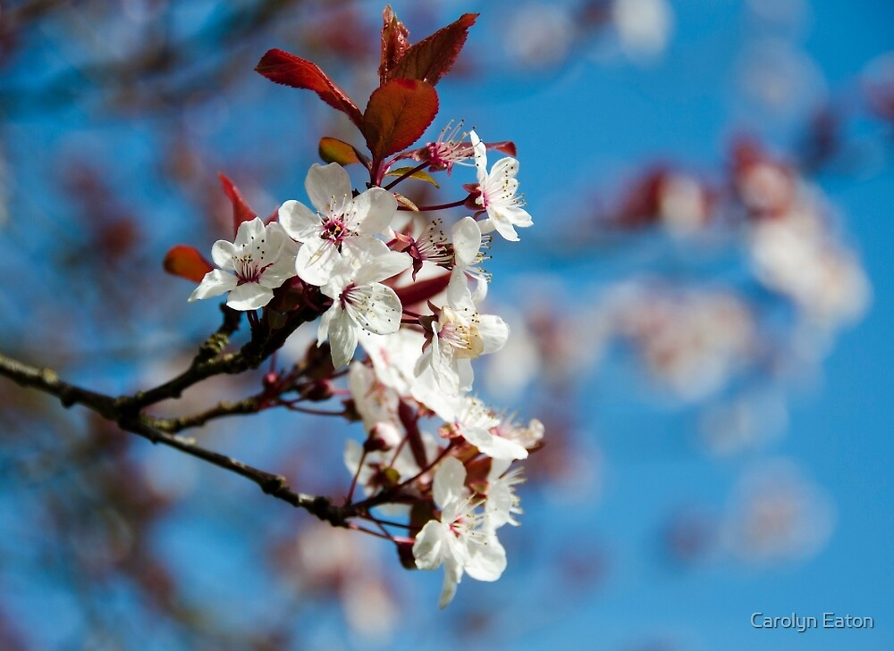 Cherry Blossom against a Blue Sky by Carolyn Eaton