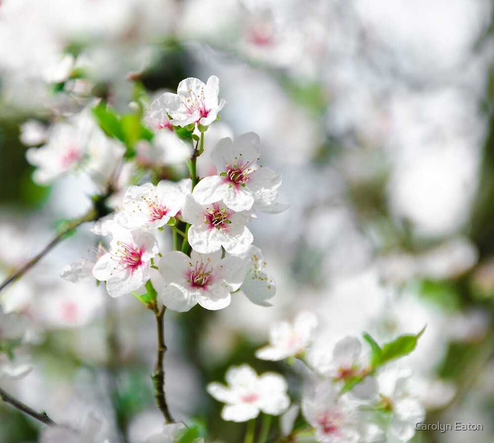 Cherry Blossom by Carolyn Eaton