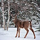Canadian Whitetail Buck by Vickie Emms