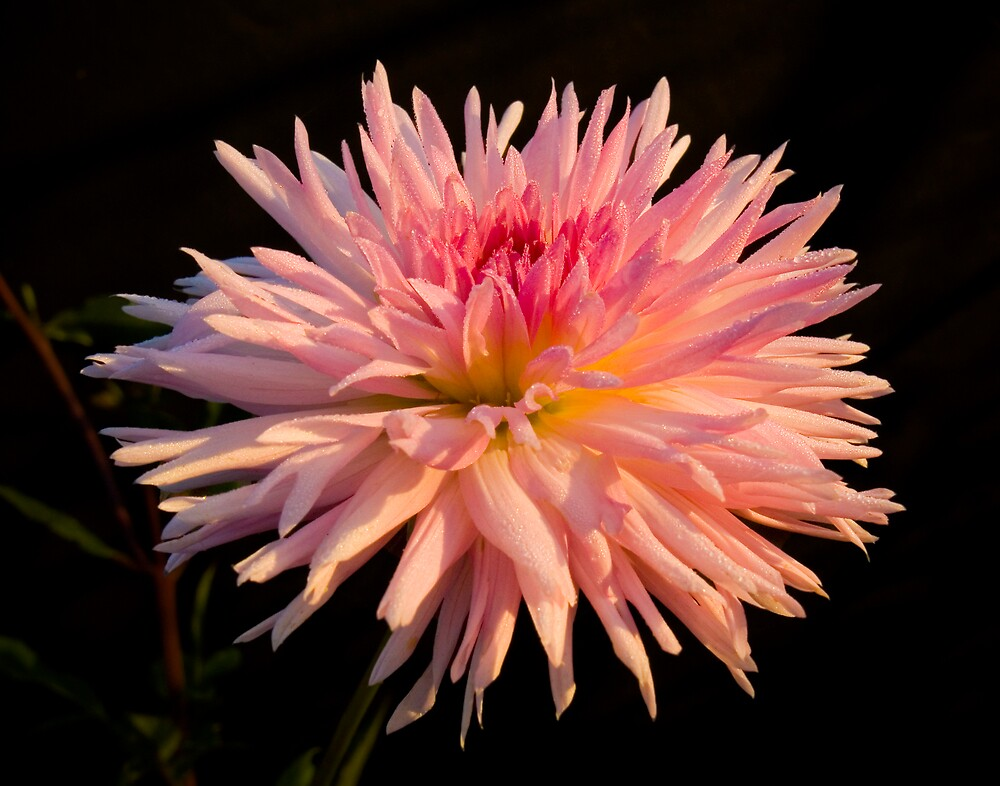 Dahlia First Light by DavidHoefer
