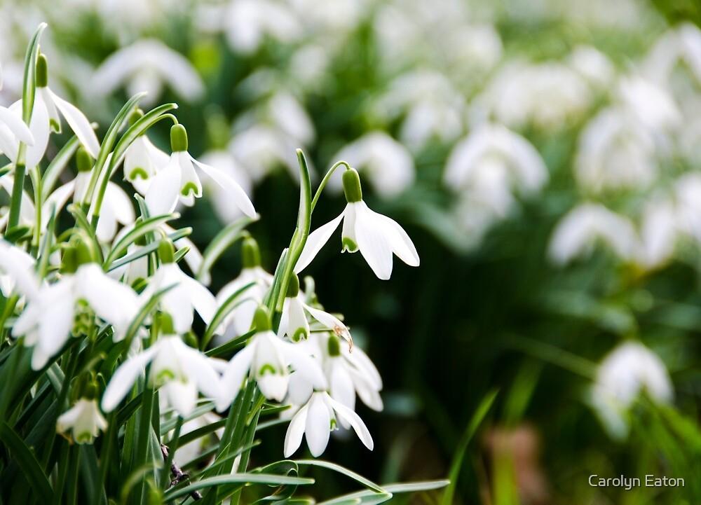 Snowdrops by Carolyn Eaton