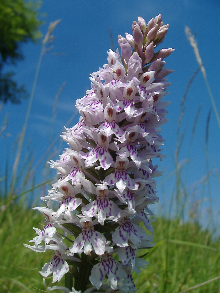 Common Spotted Orchid by ianboyd