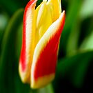 Tulip by Chris Charlesworth