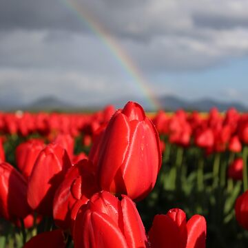 Tulips and Rainbows by nicoleee317