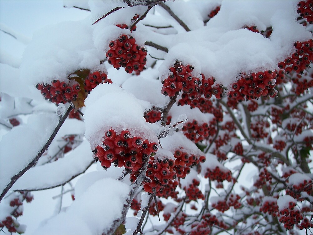 Snow covered berries by Valerie