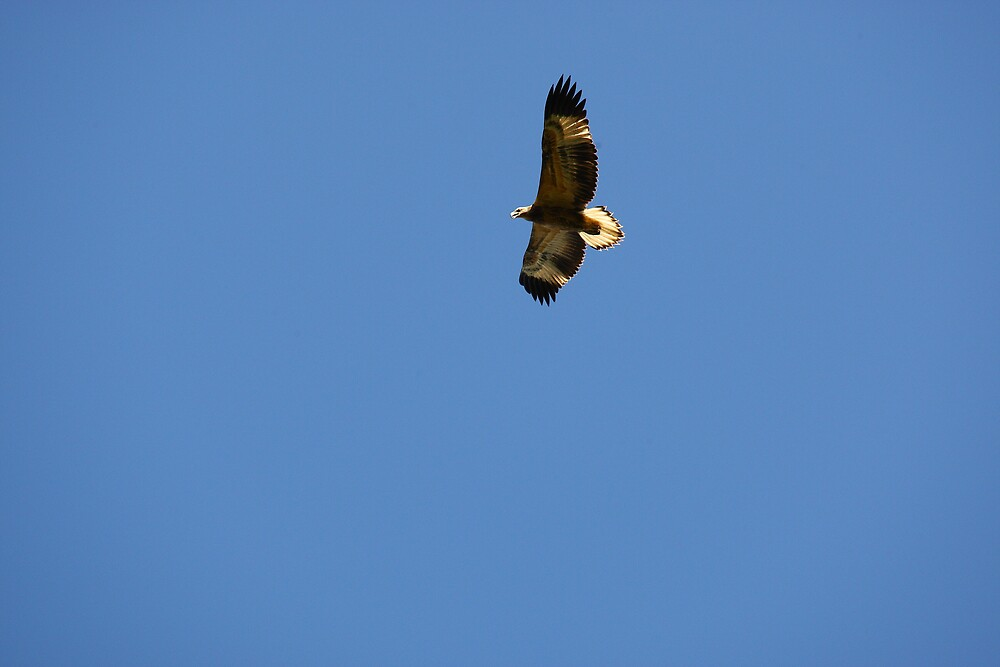 Juvenile White Breasted Sea Eagle by kenconolly
