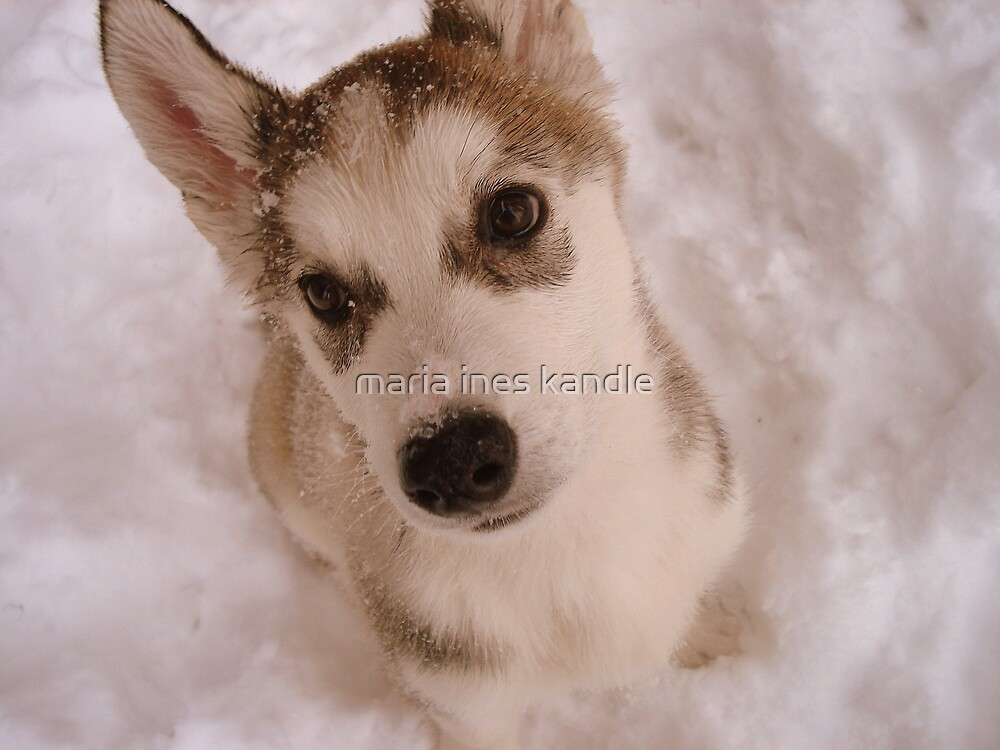 Siberian Husky puppy in the snow by maria ines kandle