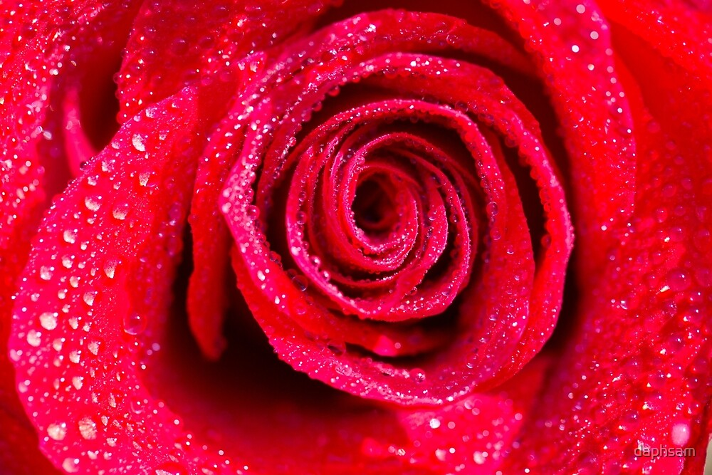 Spirals Of A Shimmering Red Rose by daphsam