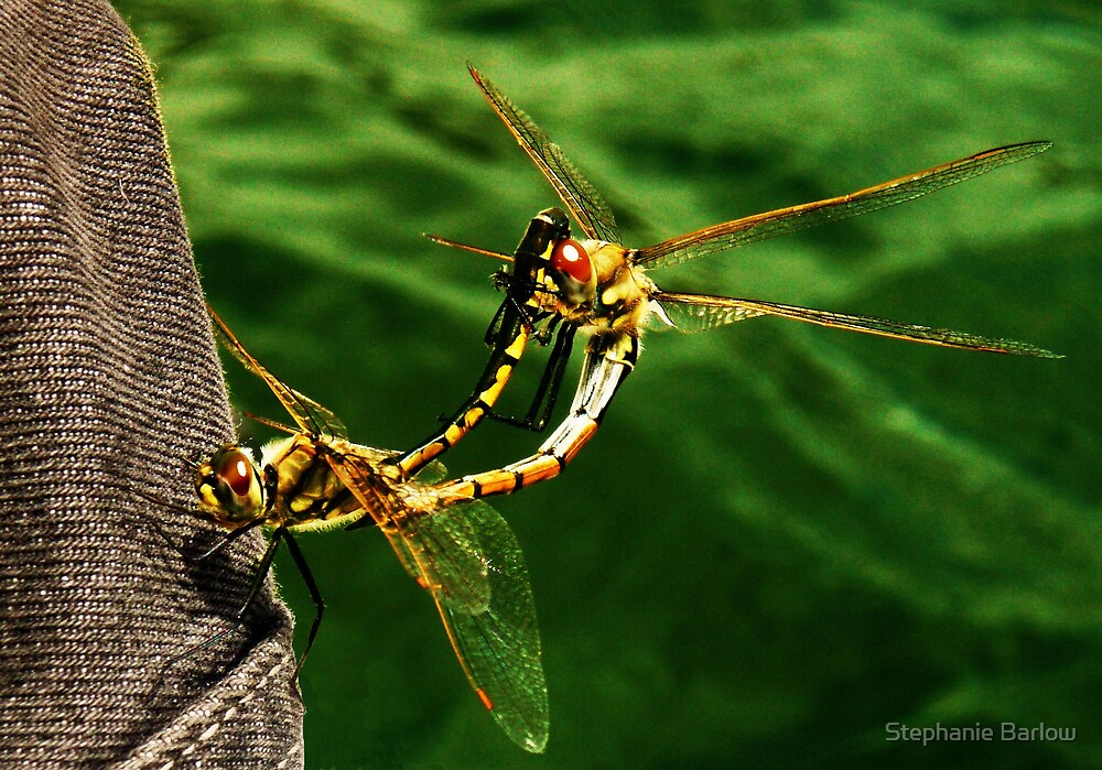 dragonflys mating by Stephanie Barlow
