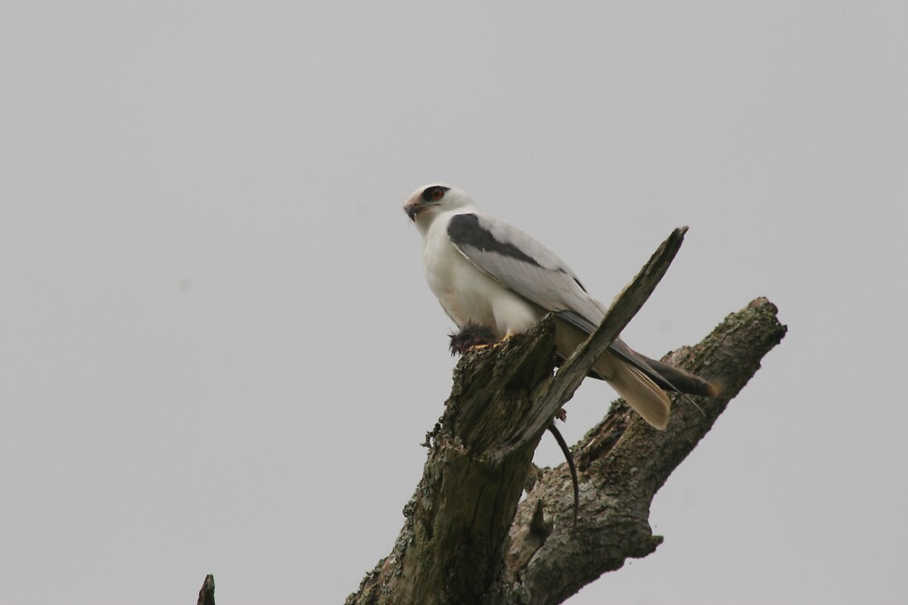 black shouldered kite again by kenconolly