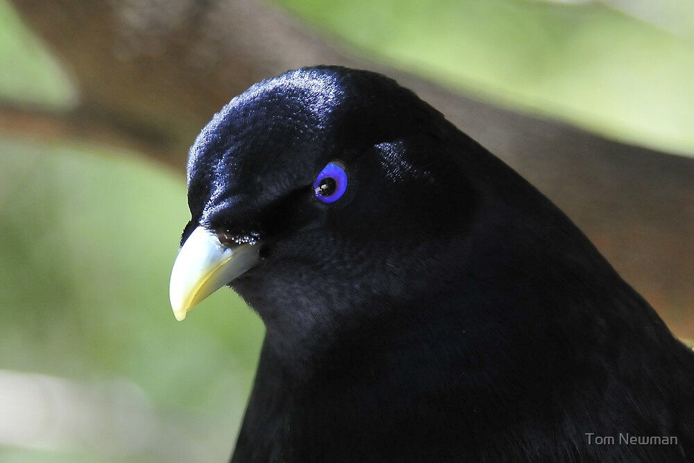 Satin Bower Bird II by Tom Newman