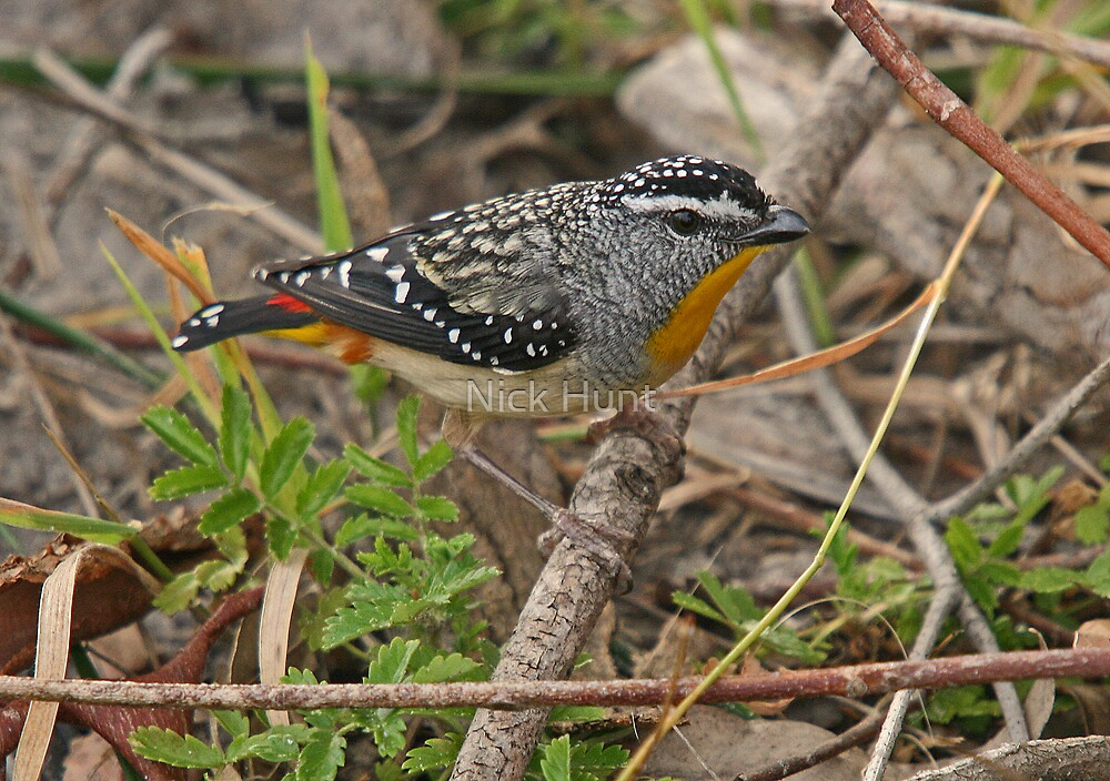 Spotted Pardalote by Nick Hunt