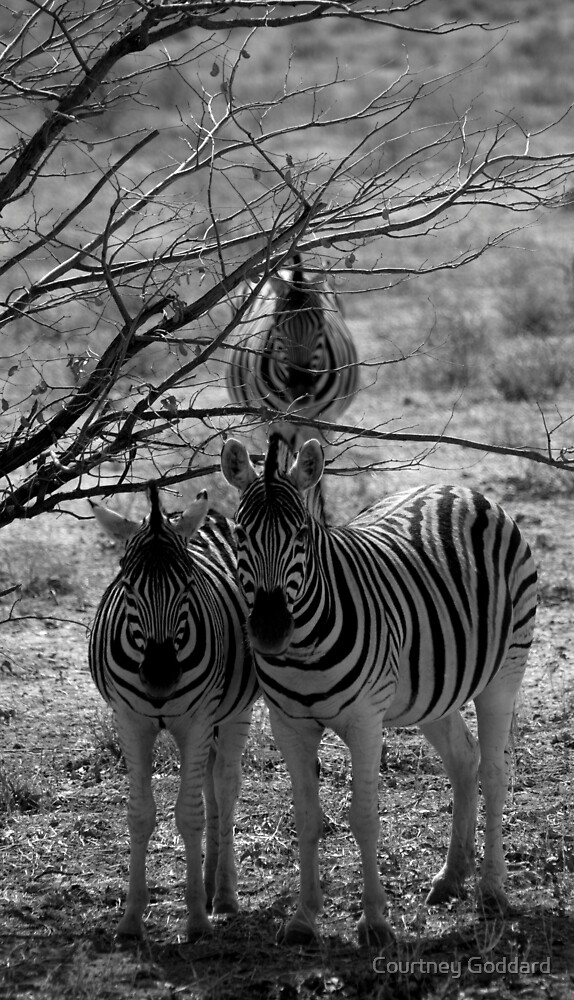 Zebra's - Etosha by Courtney Goddard