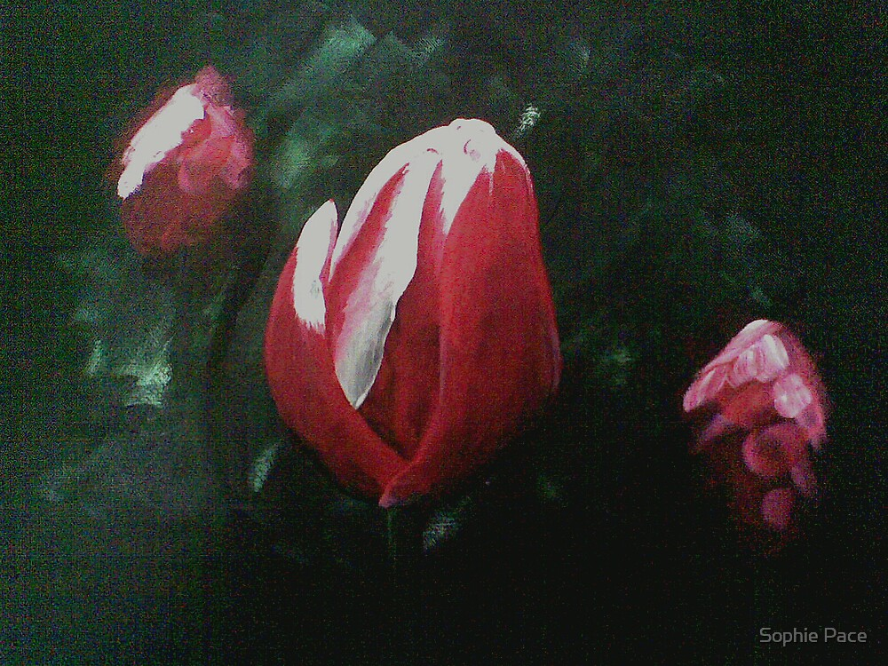 Tulips by Sophie Pace