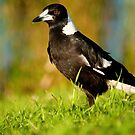 Australian Magpie, Centennial Park, Sydney by Erik Schlogl