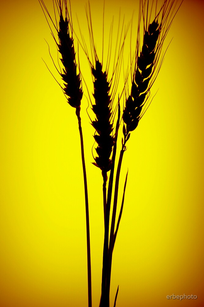 Wheat silhouette by erbephoto