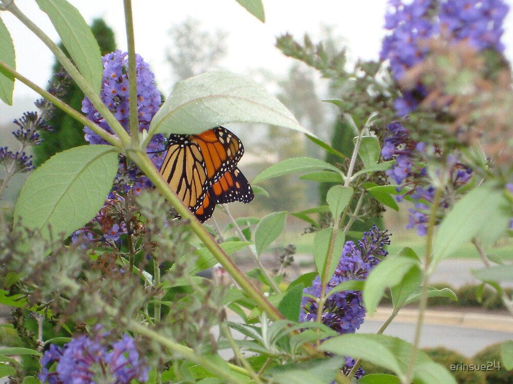 North Carolina Butterfly by erinsue24