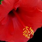 Hibiscus in Soft Light by Colleen Drew