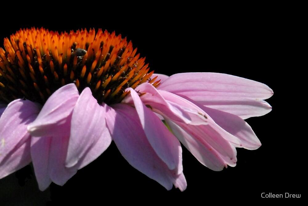 Purple Coneflower by Colleen Drew