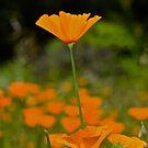 California Poppy by Lynda Anne Williams