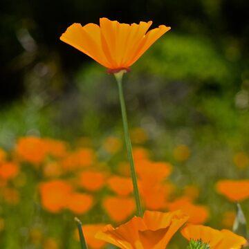 California Poppy by LyndaAnneArt