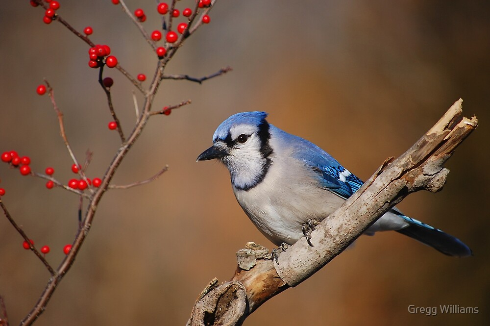 Blue Jay and berries.. by Gregg Williams