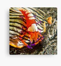 Emperor Shrimp on Nudibranch Metal Print