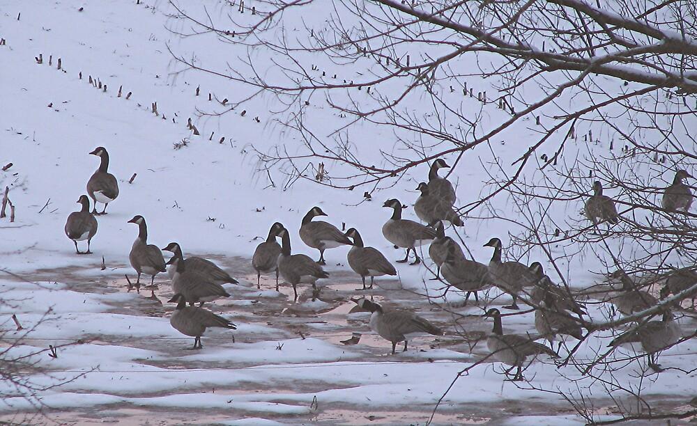 Perkiomen Geese in the Field by drumsandkeys