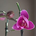 Reblooming Orchid by Eileen Brymer