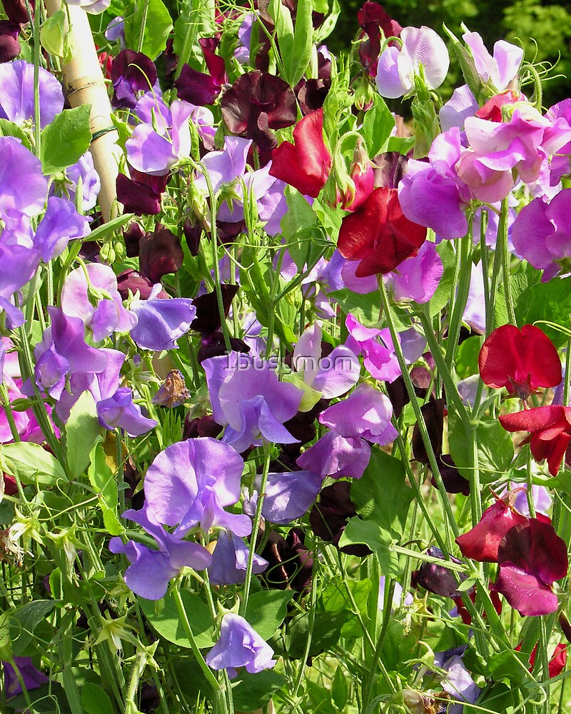 sweet pea magic by 1busymom