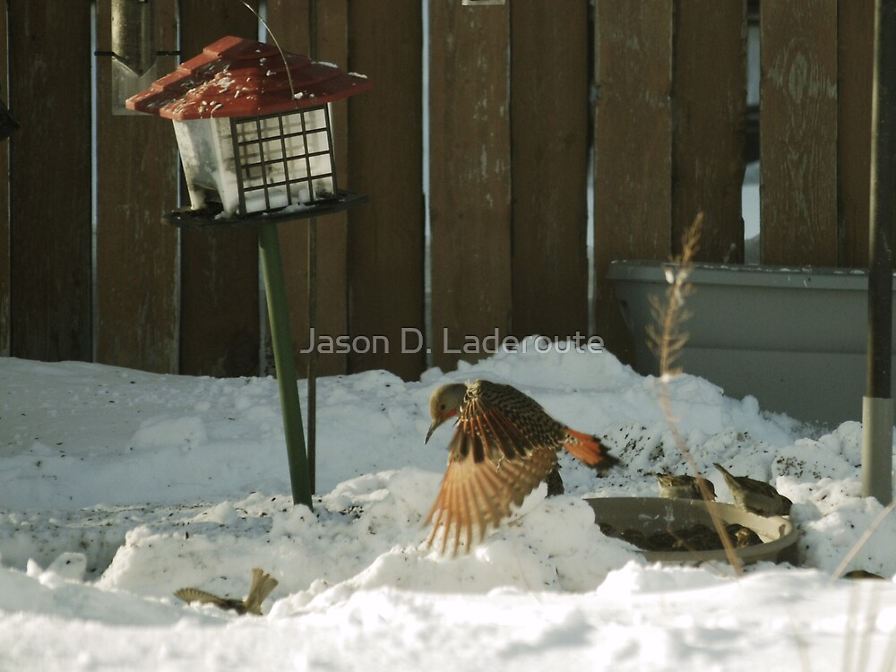 Red Shafted Flicka Picking on a Sparrow  by Jason D. Laderoute