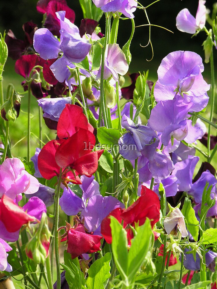 purple and red sweet pea by 1busymom