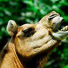 Camel by Aneurysm