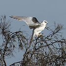 Black Shouldered  Kite,  Juvenile by Kym Bradley
