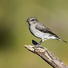 Juvenile  Hooded Robin  by Kym Bradley