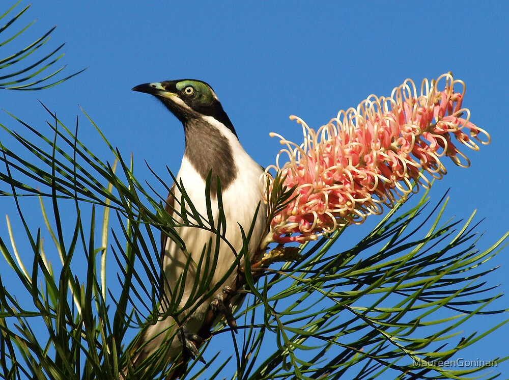 Blue-faced Honeyeater by MaureenGoninan