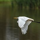 Egret In Flight by Kym Bradley