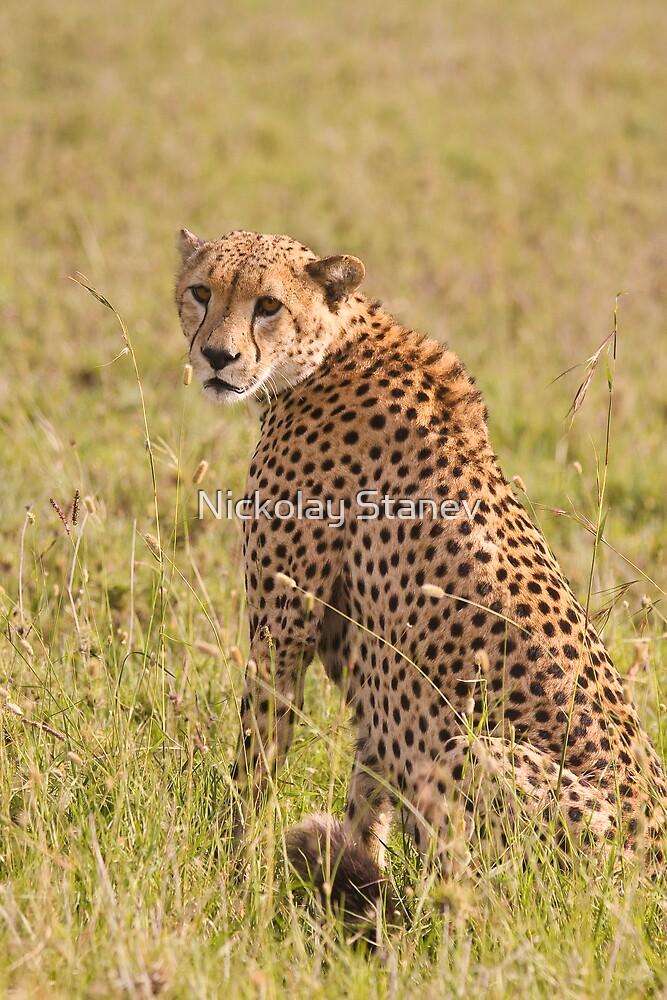 Cheetah by Nickolay Stanev