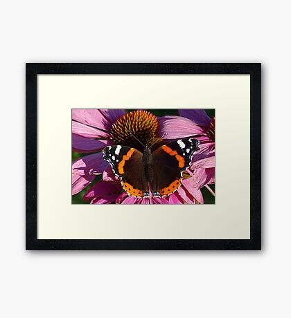 Red Admiral on Ecinachea Purpurea Framed Print
