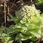 Bog Rhubarb Plant in Bloom by Imladris01