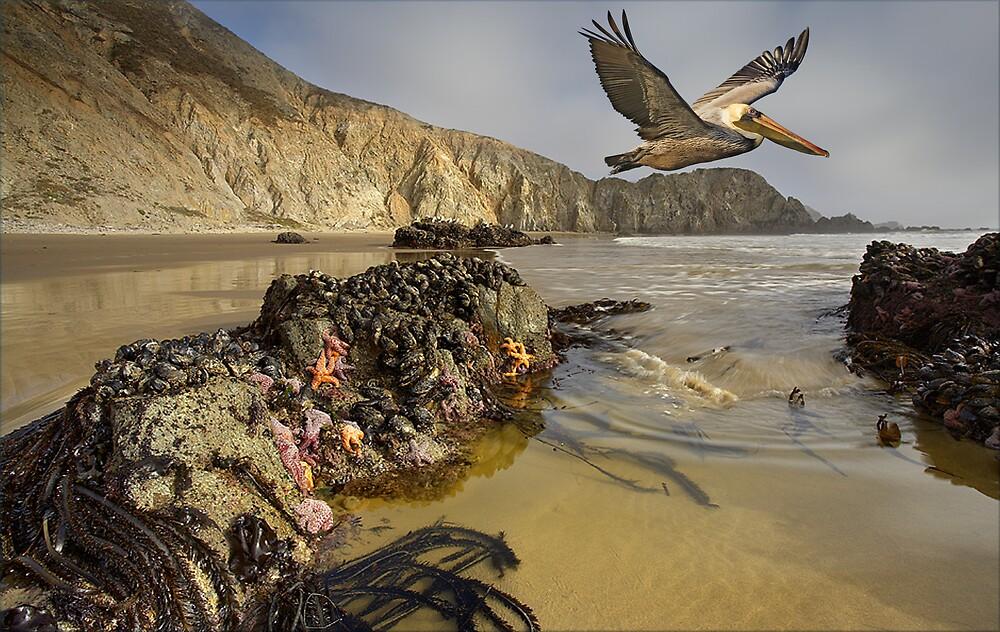 1085-California Pelican Shoreline by George W Banks