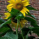Sunflower and brick by jammingene