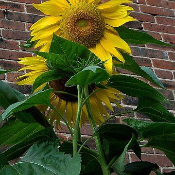 Sunflower and brick by jammingene