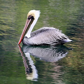 Reflections of a Pelican by AuntDot