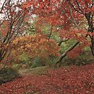 Acer walk by miradorpictures