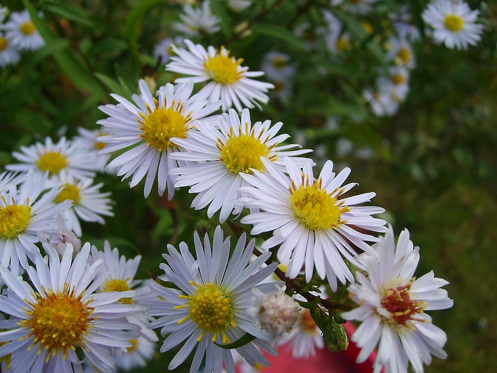 Asters by GardeningArcher