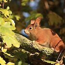 Red squirrel by miradorpictures