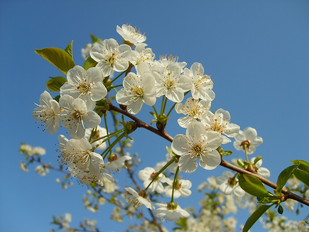 Cherry Blossom by GardeningArcher